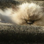 Fluff cat