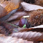 Chestnut growing