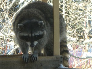 Raccoon up close